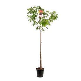 Fleur.nl - Prunus avium 'Udense Spaanse' - hoogstam