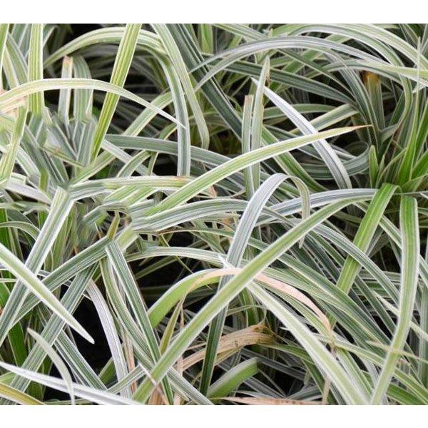 Ophiopogon 'Albo-Variegata'