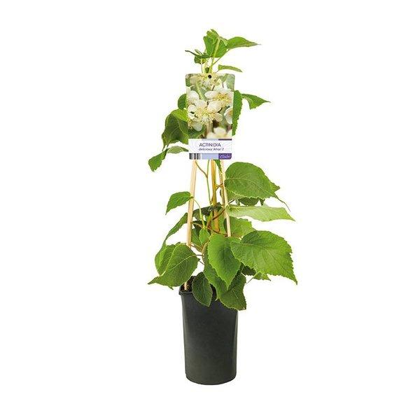 Actinidia deliciosa 'Atlas' (mannelijk) Kiwiplant