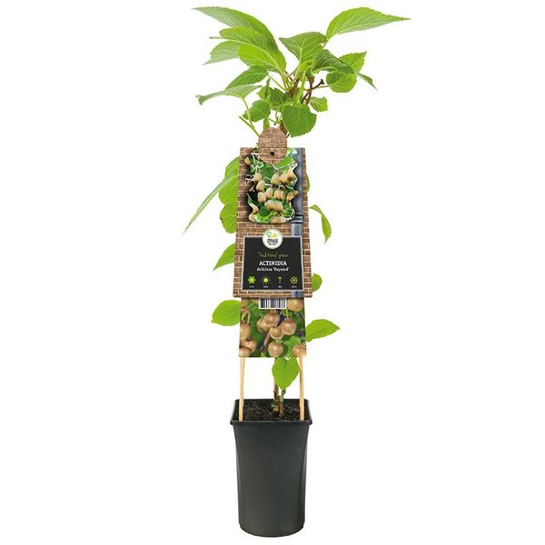 Actinidia deliciosa 'Hayward' (vrouwelijk) Kiwiplant