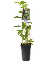 Kiwibesplanten
