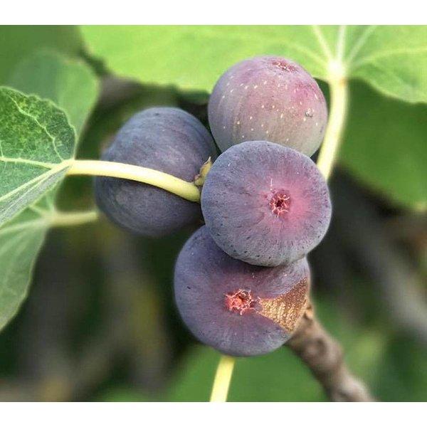 Ficus carica Vijgenboom