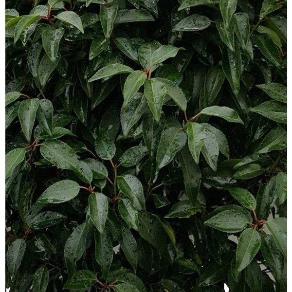 Prunus lusitanica op stam Portugese Laurier