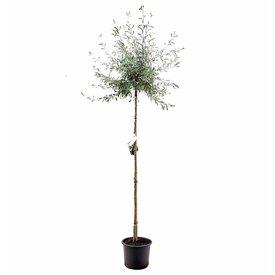 Fleur.nl - Pyrus salicifolia 'Pendula'
