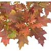 Quercus palustris 'Green Dwarf' Moeraseik