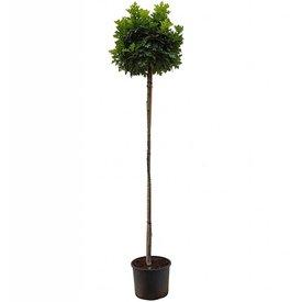 Fleur.nl - Quercus palustris 'Green Dwarf' Moeraseik