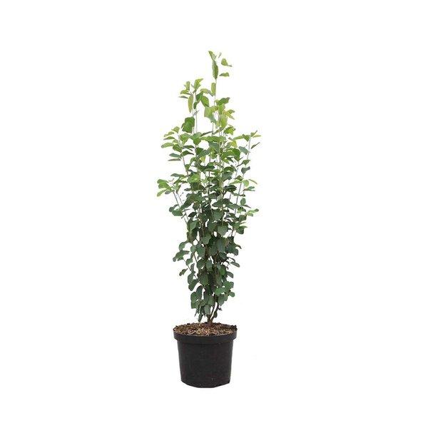 Amelanchier alnifolia 'Obelisk' Krentenboompje