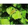 Carpinus betulus 'Fastigiata' Zuil-haagbeuk