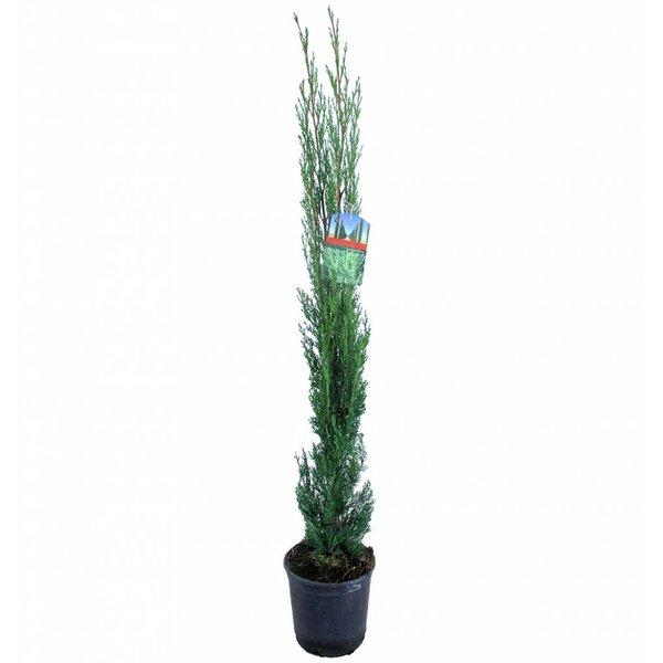 Cupressus arizonica 'Fastigiata' Amerikaanse Cipres