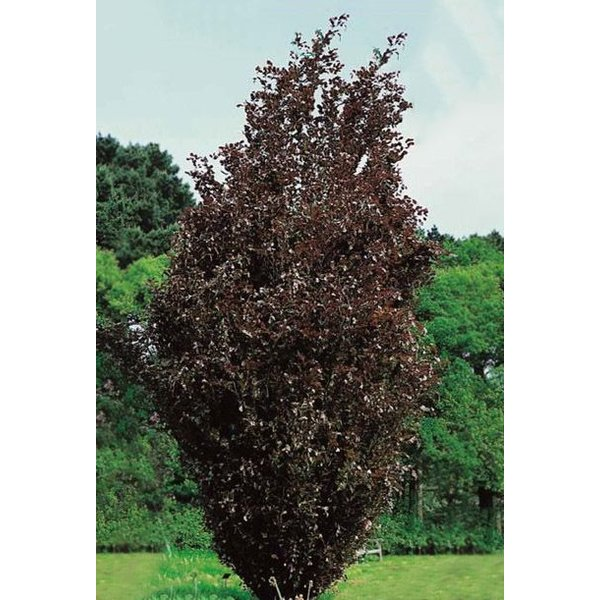 Fagus sylvatica 'Dawyck Purple' Rode Zuilbeuk