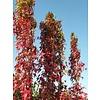 Liquidambar styraciflua 'Slender Silhouette' Amberboom