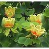 Liriodendron tulipifera 'Fastigiata' Tulpenboom