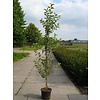 Malus 'Evereste' Sierappel