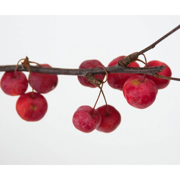 Malus 'Red Sentinel' Sierappel