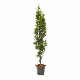 Fleur.nl - Quercus palustris 'Green Pillar'