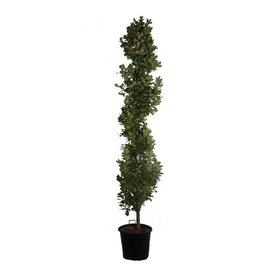 Fleur.nl - Quercus robur 'Fastigiata Koster' Piramidale Eik