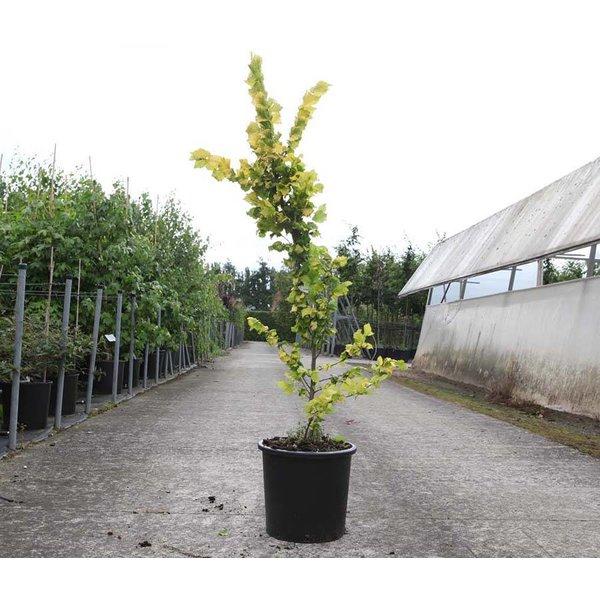 Ulmus hollandica 'Wredei' Goudiep - laagstam