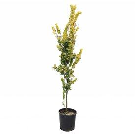 Fleur.nl - Ulmus hollandica 'Wredei' Goudiep - laagstam
