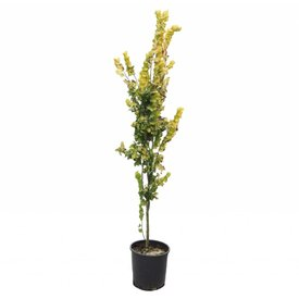 Fleur.nl - Ulmus hollandica 'Wredei' -laagstam