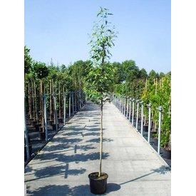 Fleur.nl - Amelanchier arborea 'Robin Hill' Krentenboom