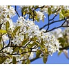 Amelanchier arborea 'Robin Hill' Krentenboompje