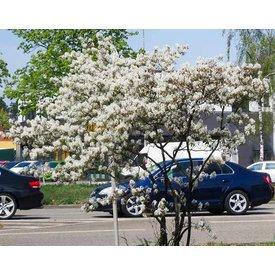Fleur.nl - Amelanchier lamarckii - Krentenboom