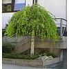 Betula pendula 'Youngii' Prieelberk