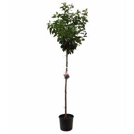 Fleur.nl - Prunus 'Accolade' sierkers op stam