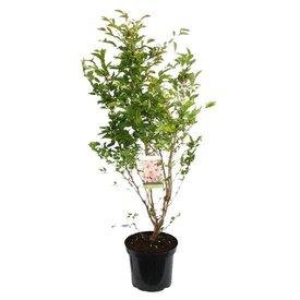 Fleur.nl - Prunus nipponica 'Brillant'