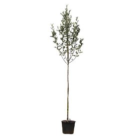 Fleur.nl - Sorbus aria 'Magnifica' Meelbes