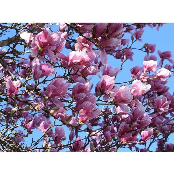 Magnolia 'Heaven Scent' Beverboom