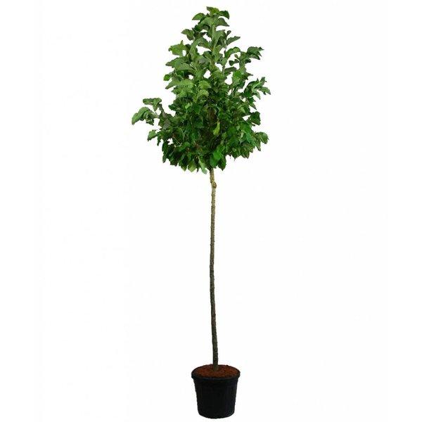Magnolia 'Sentinel' Beverboom
