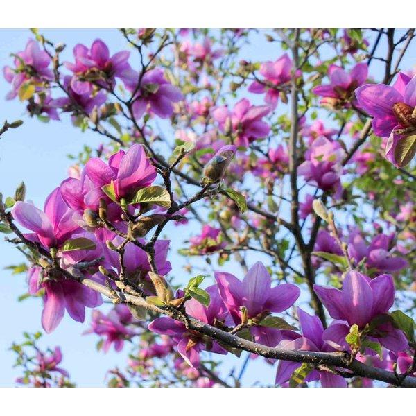 Magnolia 'Spectrum' Beverboom