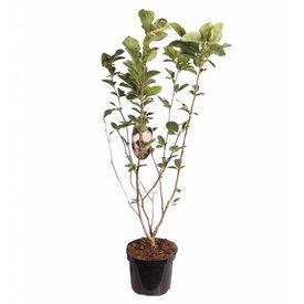 Fleur.nl - Magnolia soulangeana