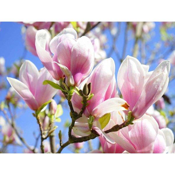 Magnolia soulangeana Beverboom