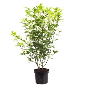 Fleur.nl - Magnolia soulangeana 'Lennei'