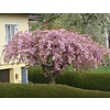 Prunus serrulata 'Kiku-Shidare-Zakura' Japanse sierkers