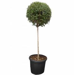 Kleine bomen op stam