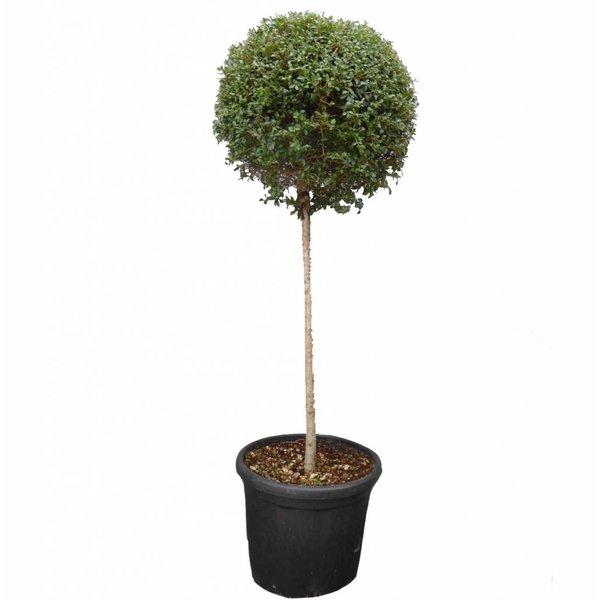 Ligustrum delavayanum op stam