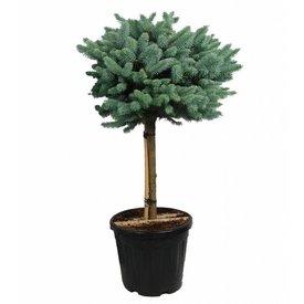 Fleur.nl - Picea pungens 'Glauca Globosa' op stam