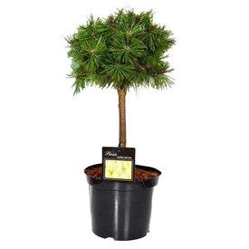 Fleur.nl - Pinus densiflora 'Jane Kluis' op stam