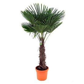 Fleur.nl - Trachycarpus fortunei - Chinese waaierpalm