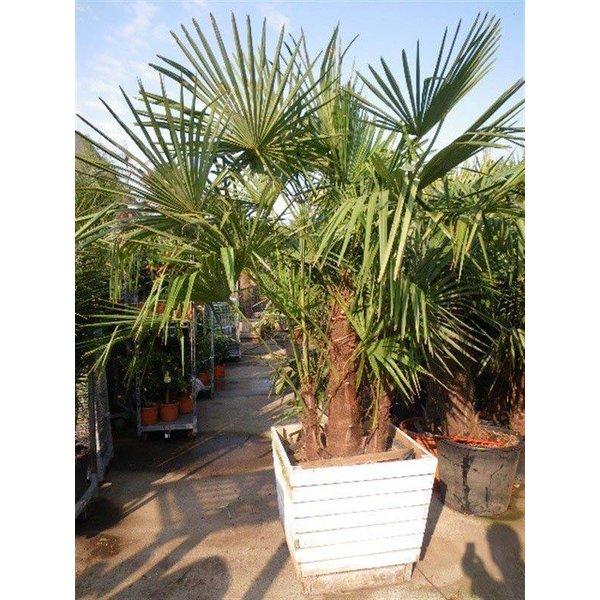 Trachycarpus fortunei 3-stam