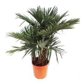 Fleur.nl - Trachycarpus fortunei 3-stam