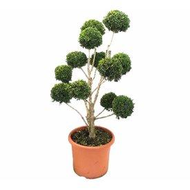 Fleur.nl - Buxus sempervirens - bonsai