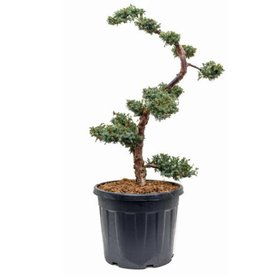 Fleur.nl - Juniperus chinensis 'Blue Alps' - bonsai