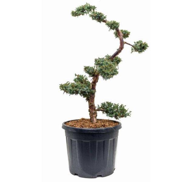 Juniperus chinensis 'Blue Alps' - bonsai