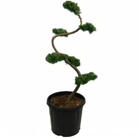 Fleur.nl - Larix kaempferi - bonsai