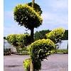 Cupressocyparis leylandii 'Gold Rider' - plateau