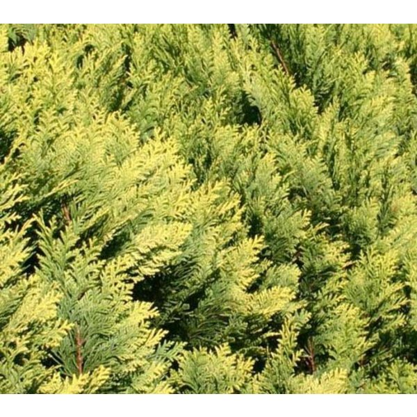 Chamaecyparis lawsoniana 'Allumi Gold' - multibol